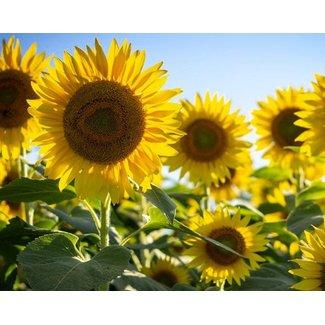 OSC Seeds Sunflower ( Mammoth Russian )