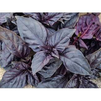 OSC Seeds Basil (Dark Opal)