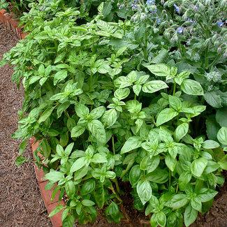 OSC Seeds Basil (Genovese)