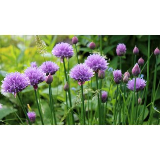OSC Seeds Chives