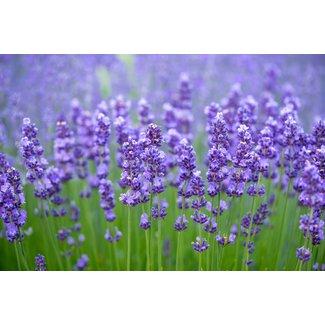 OSC Seeds Lavender