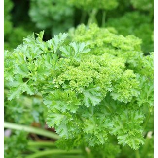 OSC Seeds Parsley (Forest Green)