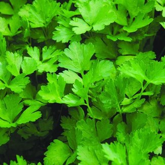 OSC Seeds Parsley (Plain Leaf Italian)