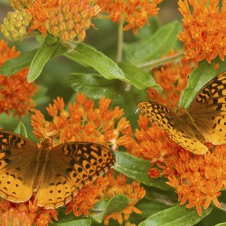 OSC Seeds Butterfly Weed (Asclepias)