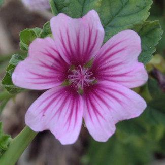 OSC Seeds Malva Sylvestris (Zebrina)
