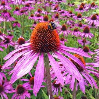 OSC Seeds Purple Coneflower (Echinacea Pupurea)