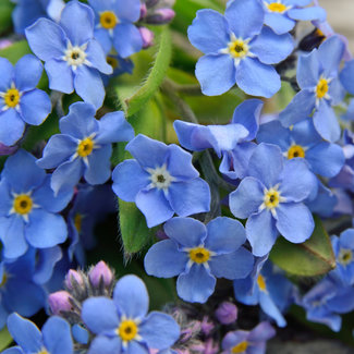 OSC Seeds Forget-Me-Not (Myosotis Alpestris)