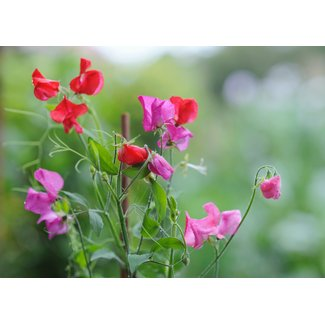 OSC Seeds Sweet Peas (Everlasting Mixed Colours)