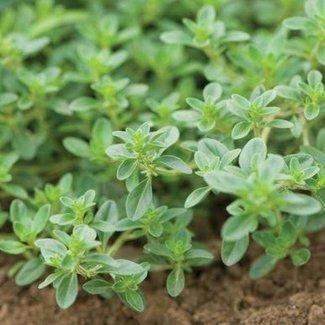 OSC Seeds Thyme