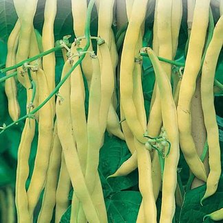 OSC Seeds Beans (Golden Wax)