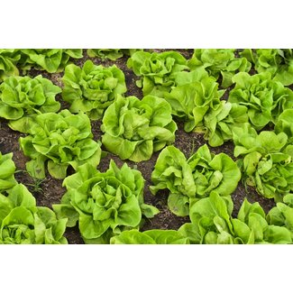 OSC Seeds Lettuce (Buttercrunch)