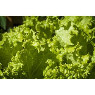 OSC Seeds Lettuce (Grand Rapids)