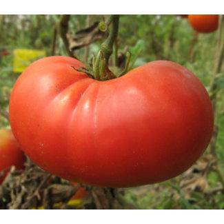 OSC Seeds Tomato (Beefsteak)