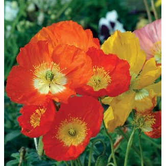 OSC Seeds Iceland Poppy (Giant Mixed)