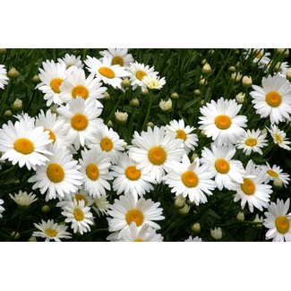 OSC Seeds Shasta Daisy (Leucanthemum Maximum)