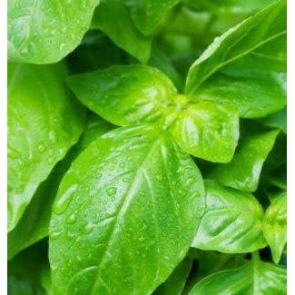 OSC Seeds Lemon Basil (Sweet Dani)