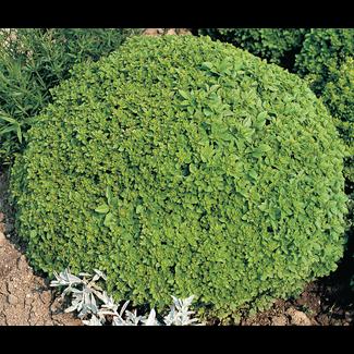 OSC Seeds Basil (Spicy Globe)