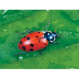 Natural Insect Control Ladybugs Hippodamia convergens