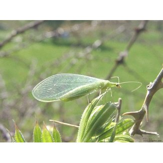 Natural Insect Control Lacewings, Green Chrysoperla