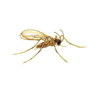 Natural Insect Control Aphidoletes aphidimyza