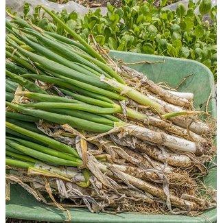 West Coast Seeds Welsh Onion Certified Organic