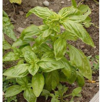 West Coast Seeds Genovese Certified Organic