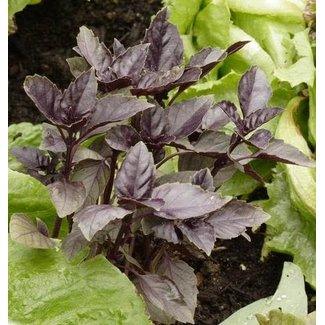 West Coast Seeds Purple Ruffles