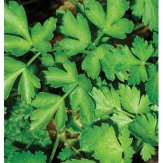 West Coast Seeds Dark Green Italian Plain