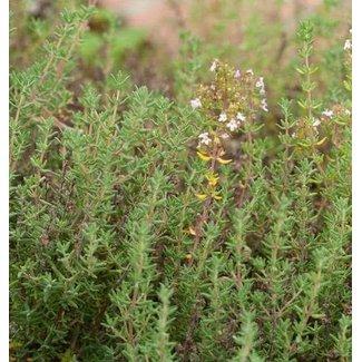 West Coast Seeds English Thyme