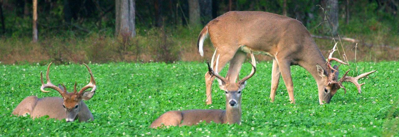 Bucks grazing a food plot