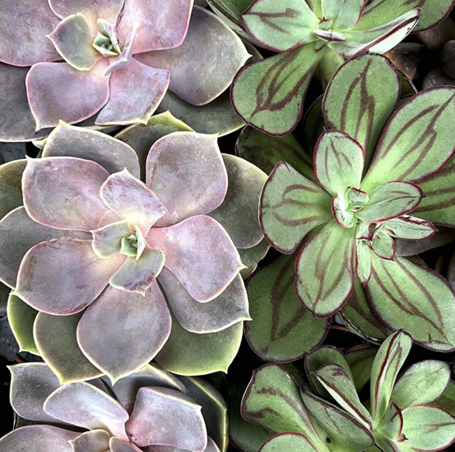 Pink Picasso Succulent