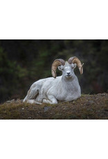 "Frank Lynn Pierce Frank Lynn Pierce ""Dall Sheep I"""