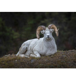 "Frank Lynn Pierce ""Dall Sheep I"""