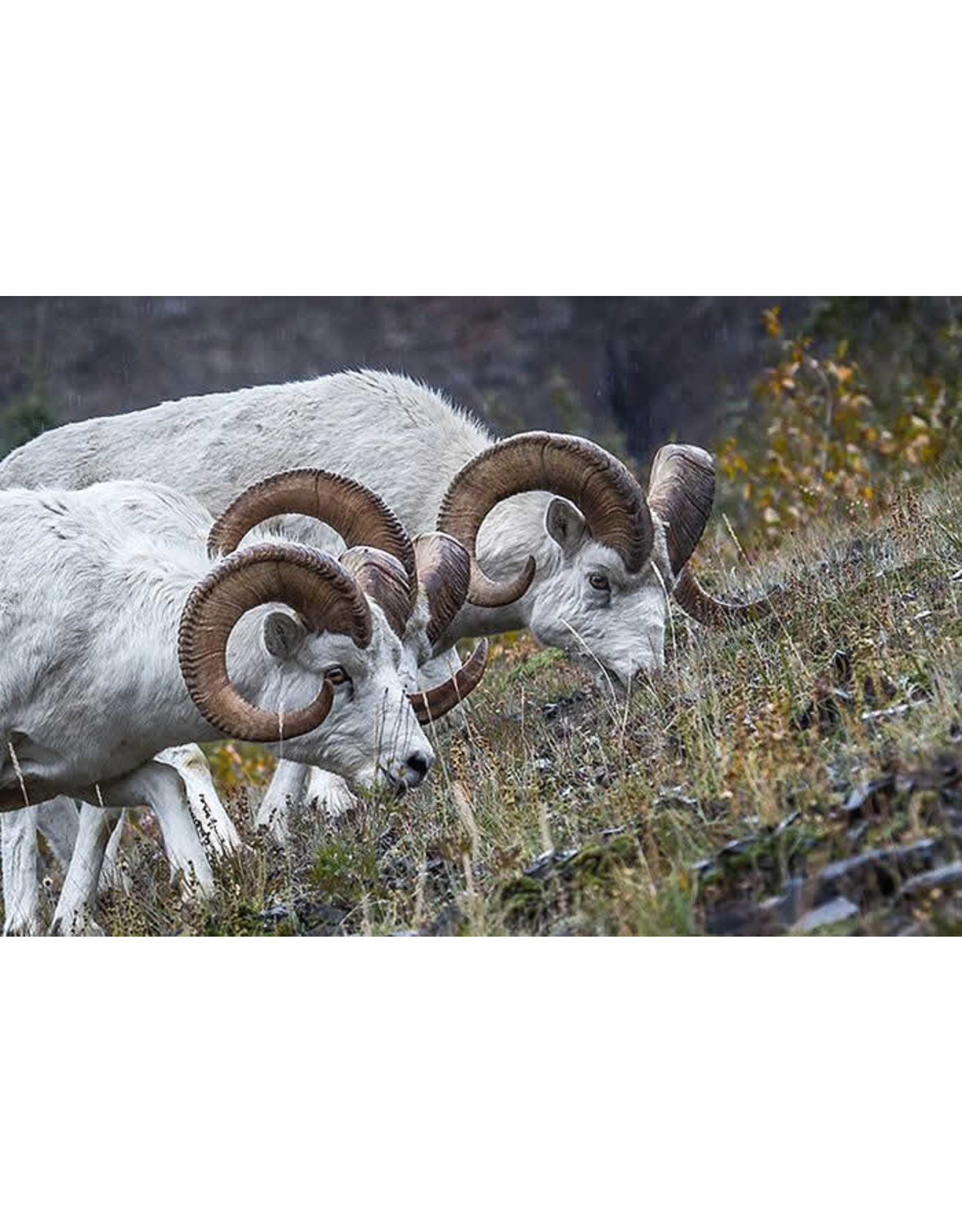 """Frank Lynn Pierce Frank Lynn Pierce """"Dall Sheep II"""""""
