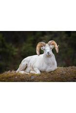 Frank Lynn Pierce Dall Sheep I | Frank Lynn Pierce