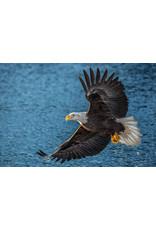 Frank Lynn Pierce Bald Eagle I | Frank Lynn Pierce