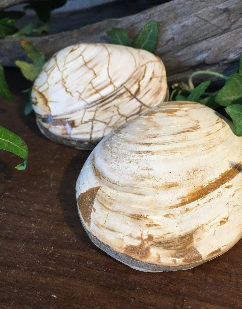 Fossil Clam 120MYA