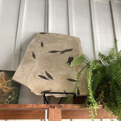 Large Fish Fossil Slab