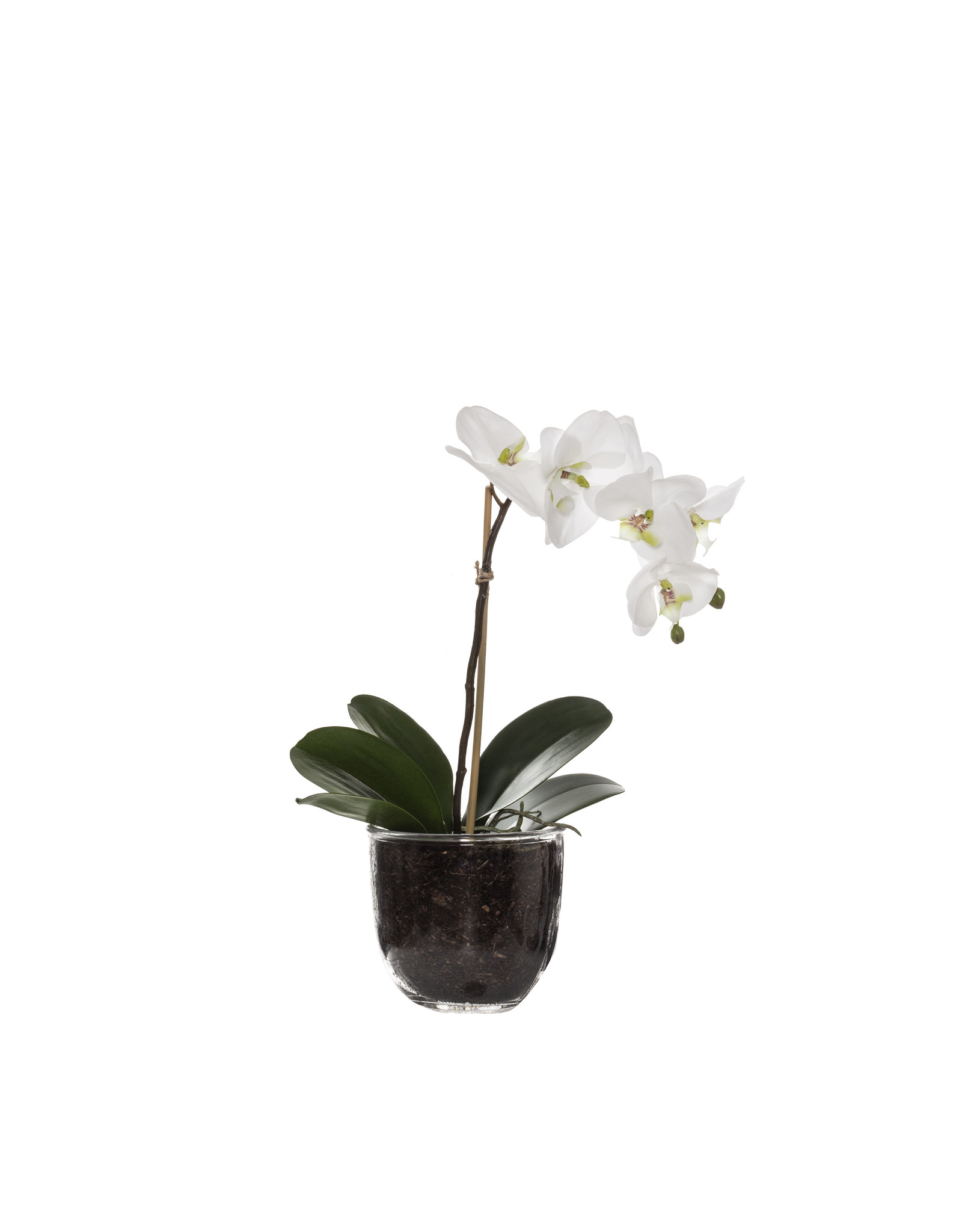 Deluxe Phalanopsis Orchid Glass