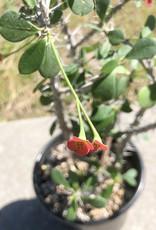 Curio Euphorbia milii imperatae x delphinensis