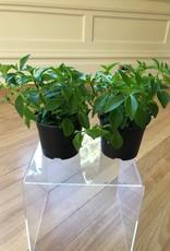 Curio Aeschynanthus Lipstick Plant Flowering, 4'' pot