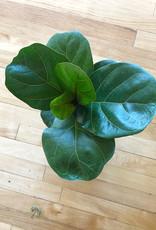 Curio Ficus lyrata, Fiddle-Leaf Fig