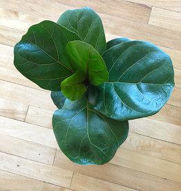 Curio Fiddle-Leaf Fig