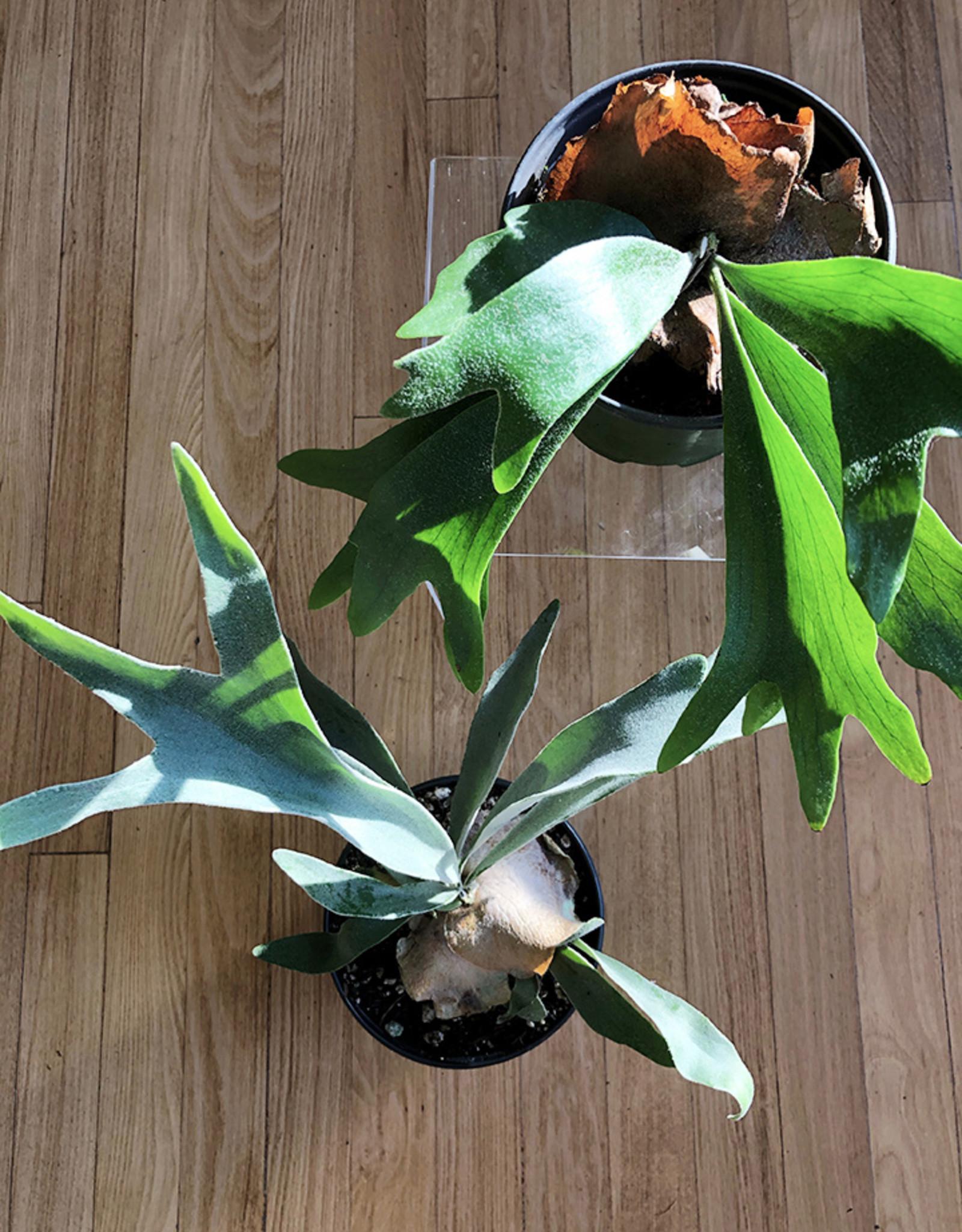 Curio Polypodiaceae Platycerium, 'Staghorn Fern'