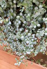 Curio Pilea glauca 'Silver Sparkles'