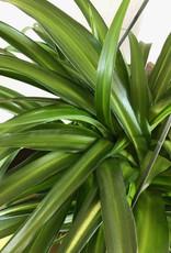 Curio Chlorophytum viridescens 'Hawaiian Spider Plant'