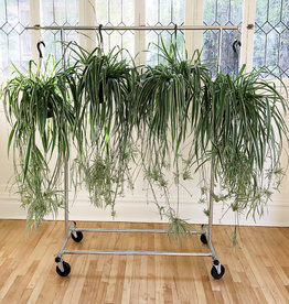 Curio Variegated Spider Plant