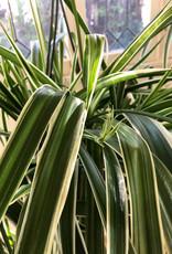 Curio Chlorophytum Comosum 'Vittatum' (Variegated Spider Plant)