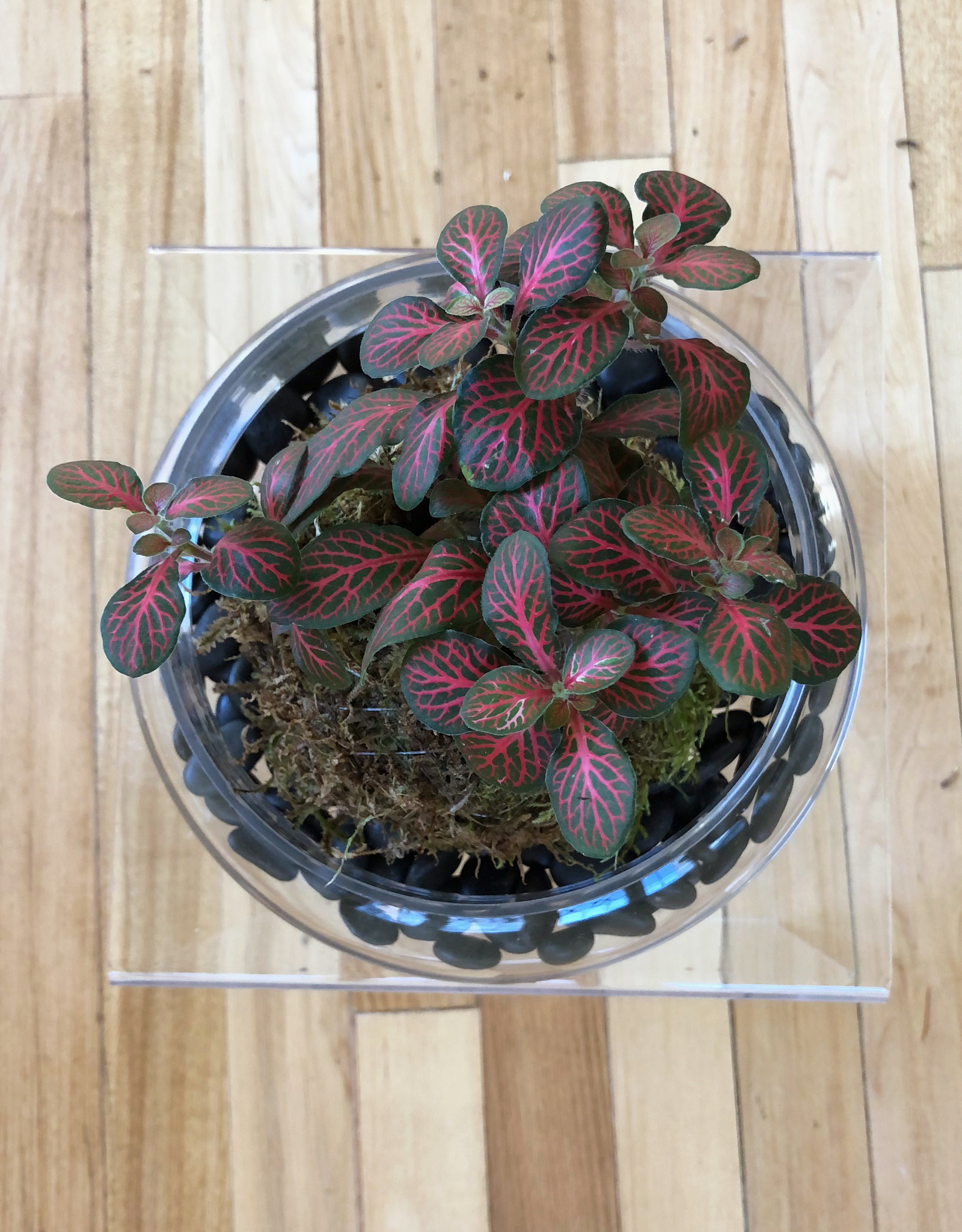 Curio Glass Cloche Terrarium with Fittonia Kokedama