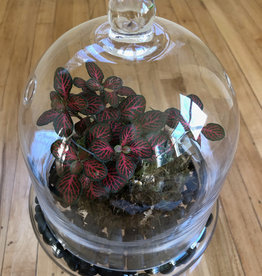 Curio Glass Cloche Terrarium with Fittonia Kokedama